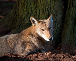Endangered red wolf laying down.