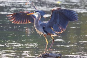 Blue heron spreading its wings.