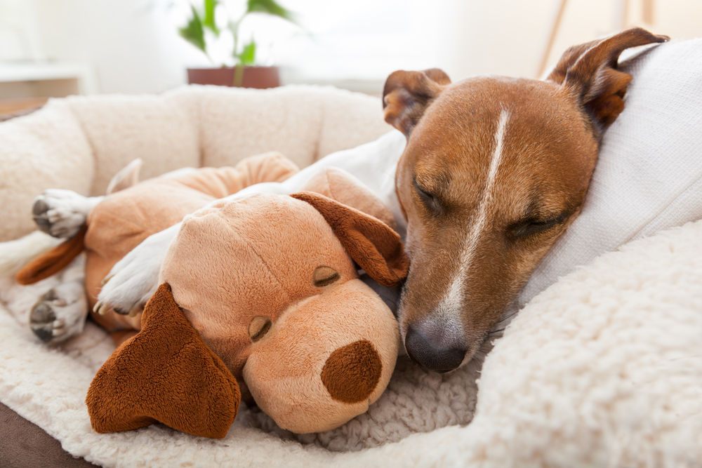Dog lounges with toy.