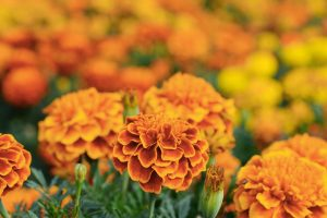 Marigolds in field.