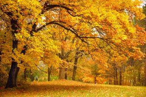Forest of orange and yellow leaves