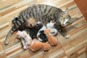A grey striped cat laying on wooden floors with several kittens on top of her.