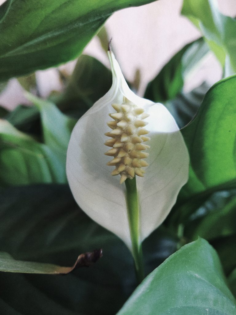 white peace lily.