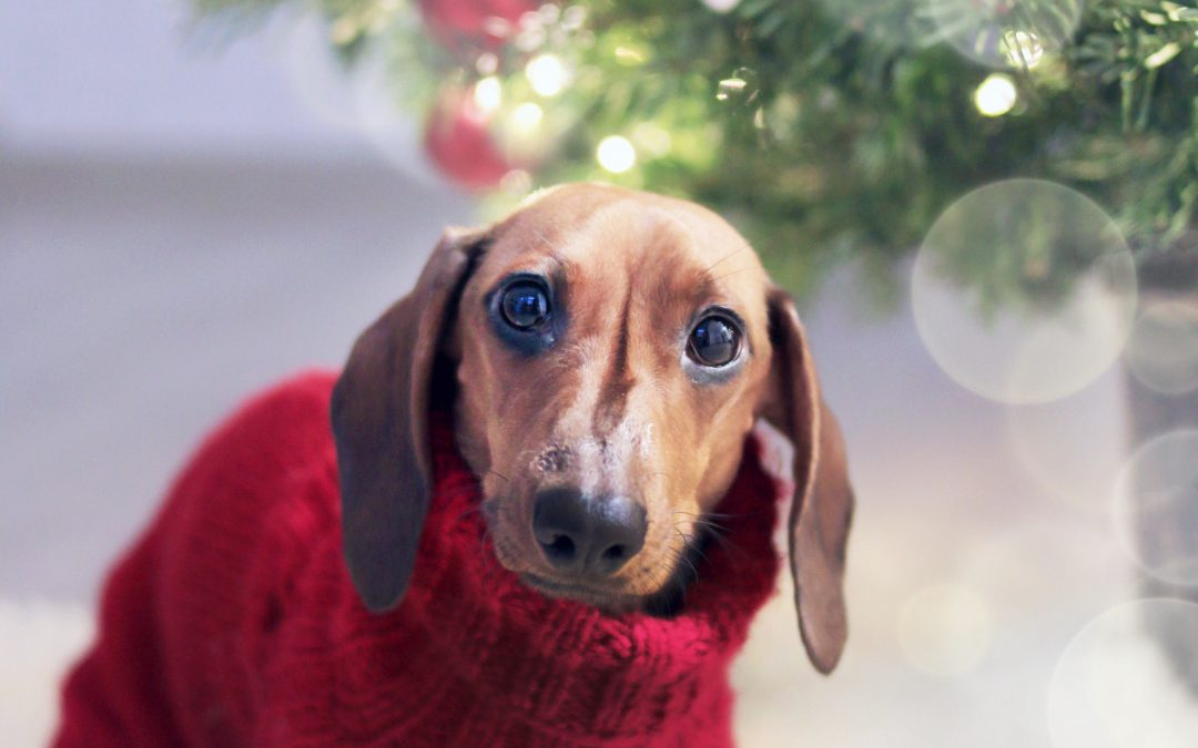 Dachshund wearing red christmas sweater.