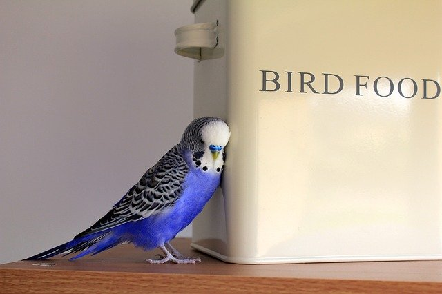 "Blue budgie stands against a white tin that says ""Bird Food."""