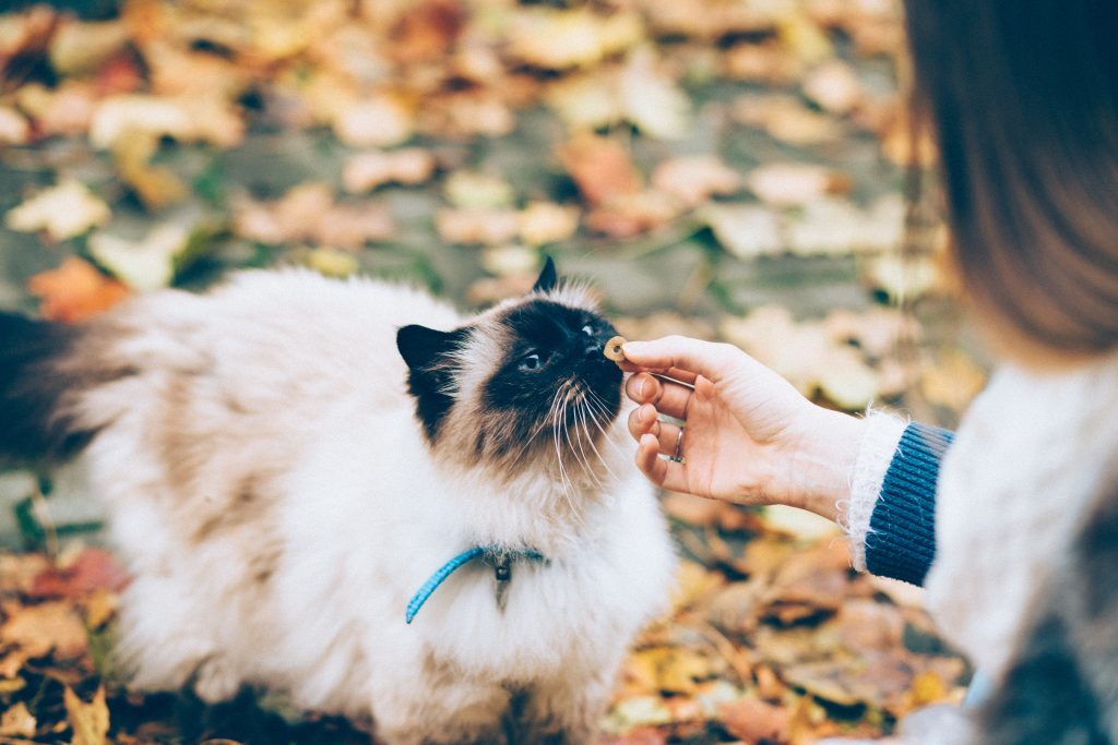 Woman kneels to give a treat to a Siamese cat sitting in autumn leaves.