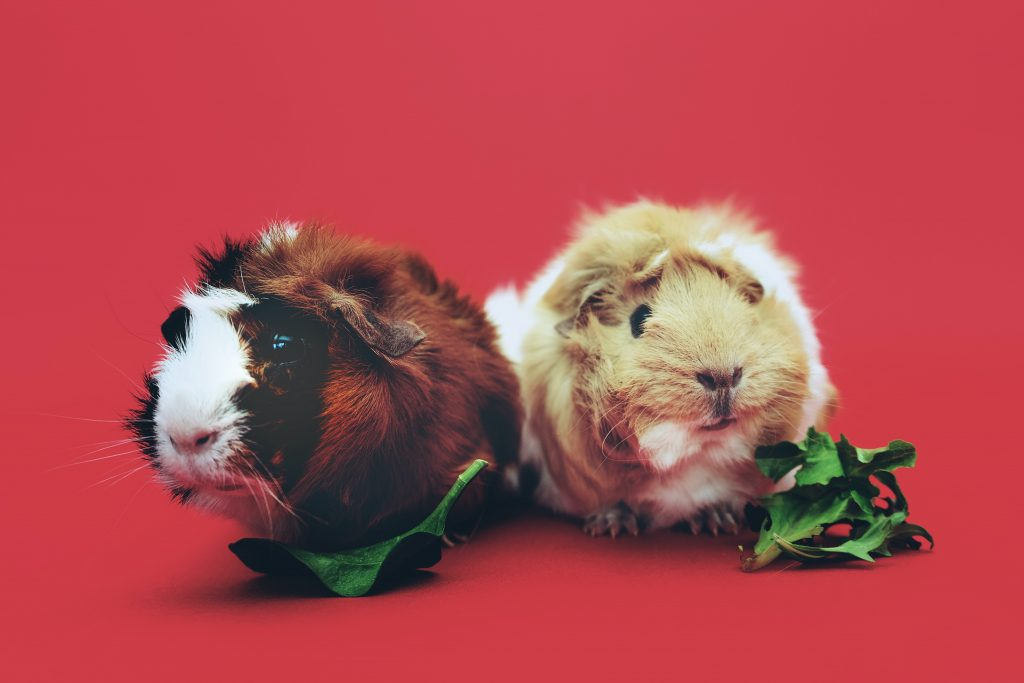 Two brown and beige guinea pigs chewing lettuce.