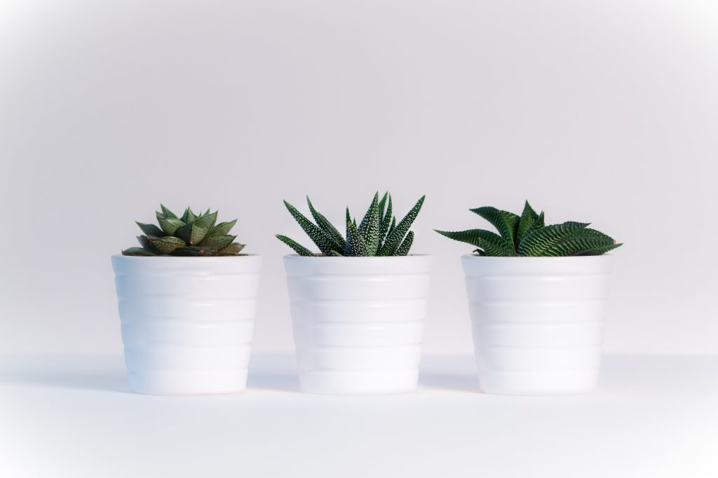 Three small succulents in matching white pots against a white background.