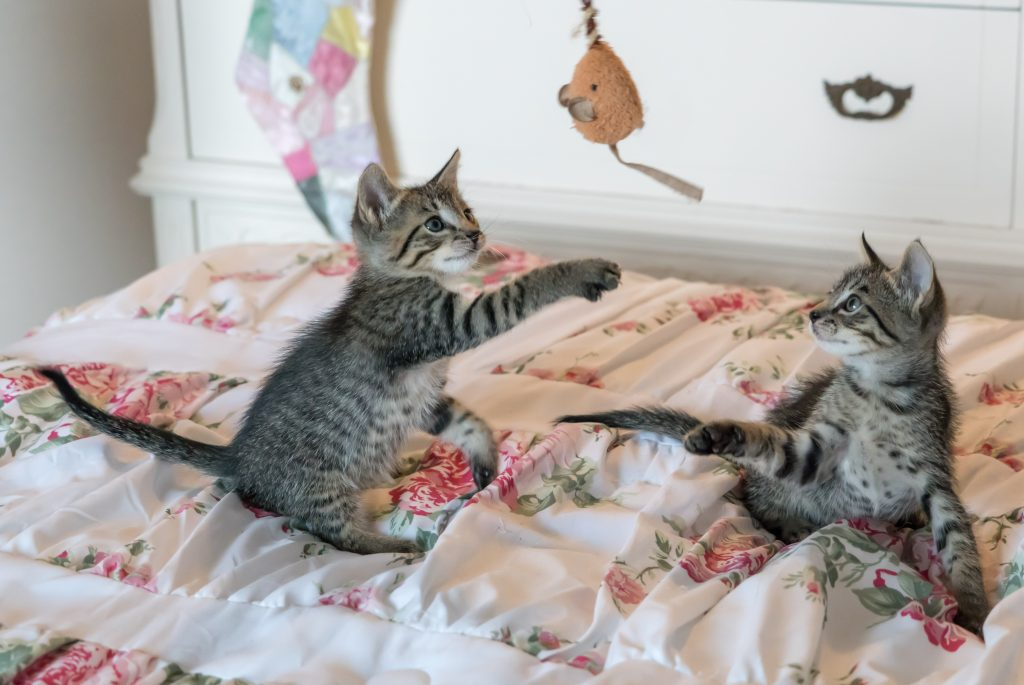 Two gray tabby kittens on a bed play with a toy mouse.